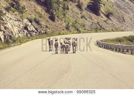 Mountain goats wandering on the road, Canada