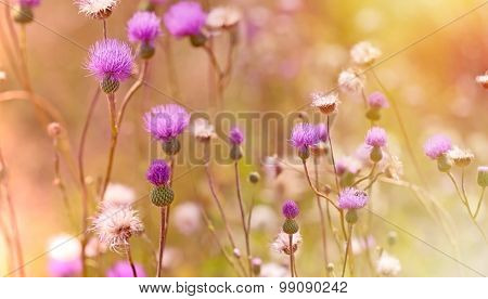Flower of thistle - burdock