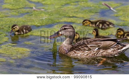 The Beautiful Family Of The Young Ducks