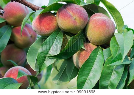 Peaches On A Branch