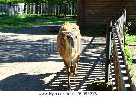 Lama walks the aviary