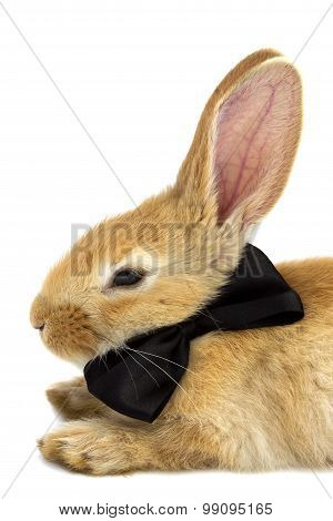 Rabbit With A Black Butterfly Close-up.
