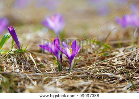 Spring flowers, saffron, purple and orange color.