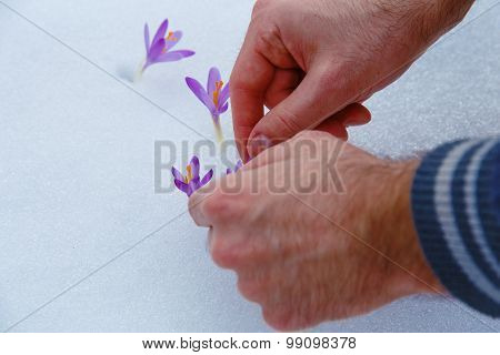 crocuses in snow, purple spring flowers. With man hand