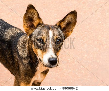Sharp and deep communicative & expressive eyes of a lovely juvenile dog