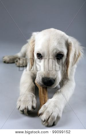 Labrador dog chewing bone on grey background