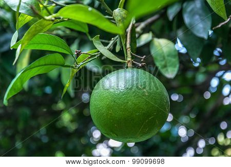 Pamela tree with fruits