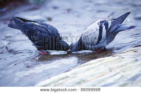 pigeon standing on a water fountain. Two pigeons drinking water .