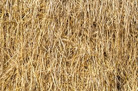 pic of rice  - Oryza sativa is the plant species most commonly referred to in English as rice. Rice is known to come in a variety of colors including: white rice brown rice black rice  purple rice and red rice. - JPG