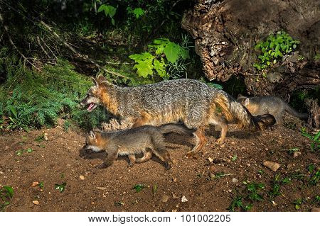 Grey Fox Vixen And Kits (urocyon Cinereoargenteus) Walk Left