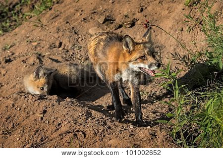 Red Fox Vixen And Kit (vulpes Vulpes) At Den