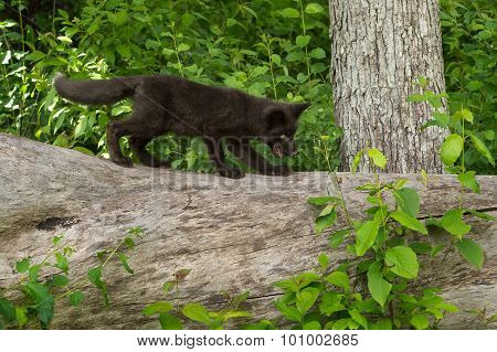 Young Silver Fox (vulpes Vulpes) Moves Right Atop Log