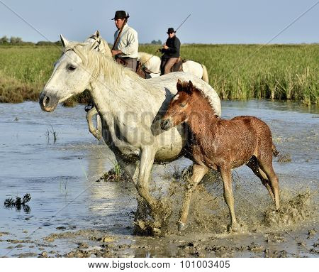 Raiders And  White Horse Of Camargue With Foal Running Through Water.
