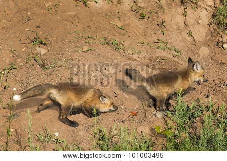 Red Fox Kits (vulpes Vulpes) Play Chase