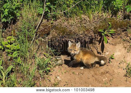 Red Fox Kit (vulpes Vulpes) Digs At Den
