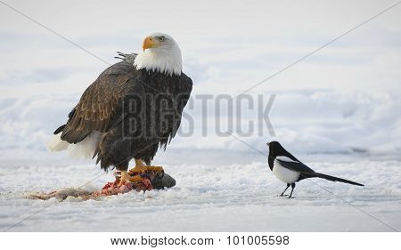 The Bald Eagle  ( Haliaeetus Leucocephalus )