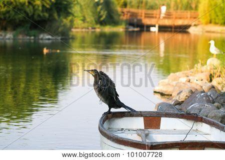 Cormorant.