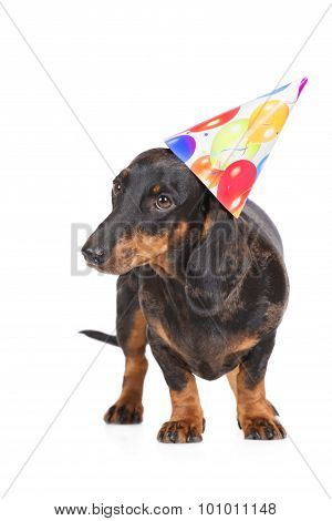 dachshund dog in a birthday hat