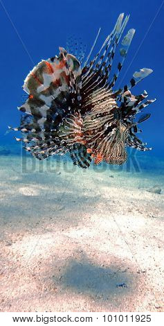 Colorful Lionfish