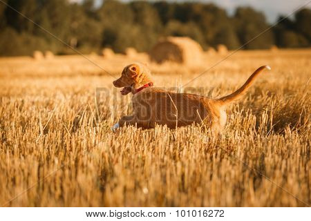 Toller  Puppy Dog In A Field At Sunset
