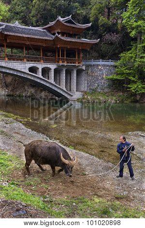 Asian Handler Training A Bull Farm, Southwest China.