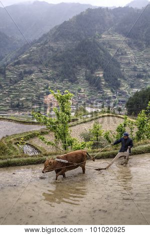 Chinese Peasant Cultivates Land In Flooded Ricefield Using Red Cow.
