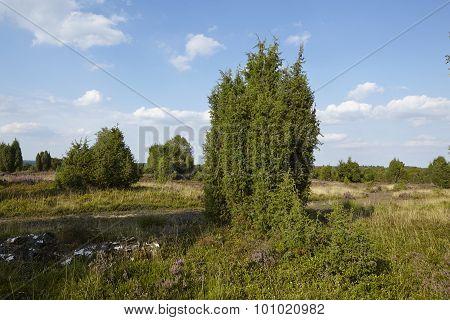 Luneburg Heath - Heathland With Juniper