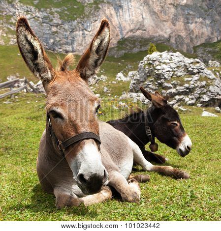 Group Of Donkey On Mountain In Italien Dolomites