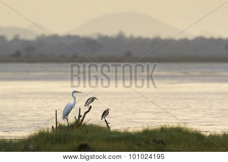 Great Egret And Indian Pond Heron In Arugam Bay Lagoon, Sri Lanka