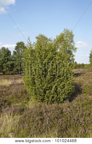 Luneburg Heath - Heathland With Juniper