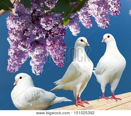 Three White Pigeons On Perch With Flowering Lilac Tree