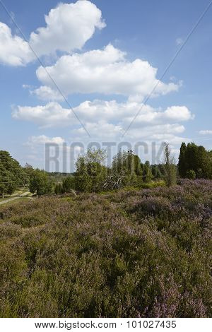 Luneburg Heath - Heathland With Blue Sky And White Clouds
