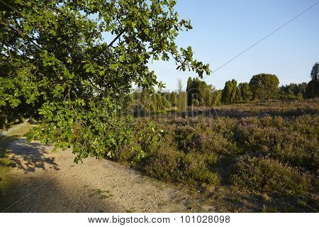 Luneburg Heath - Brunch Of An Oak Tree And Heath Landscape