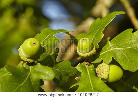 Luneburg Heath - Acorns At An Oak Tree