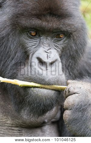 Close-up Of Silverback Gorilla Holding Branch To Mouth