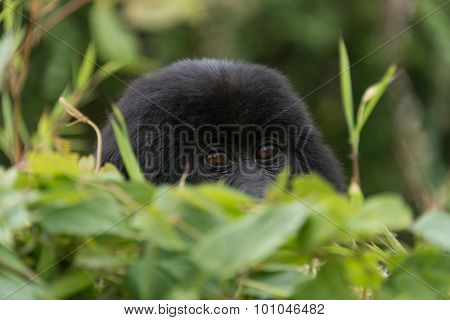 Baby Gorilla Peeps Over Bush In Forest