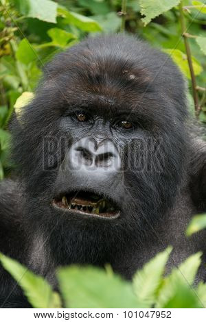 Close-up Of Male Silverback Showing Black Teeth