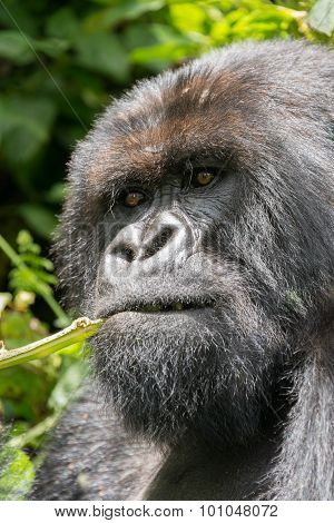 Close-up Of Silverback Chewing Branch In Sunshine