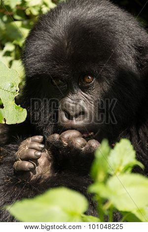 Close-up Of Baby Gorilla Head And Hands