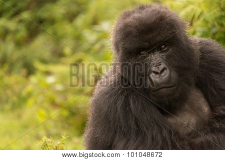 Gorilla In Forest Looks Mournfully Into Distance