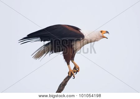 African Fish Eagle Opening Beak To Squawk