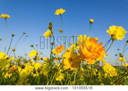 Closeup Orange Cosmos Flowers Or Sulfur Cosmos