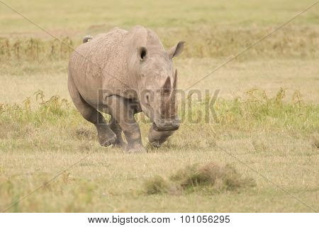 Rhinoceros Charging With Head Down Over Savannah