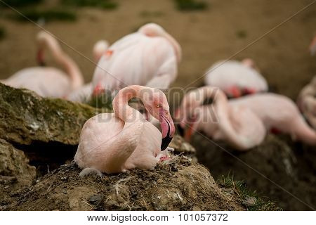 Beautiful American Flamingos On Eng In Nest