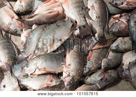 Pile Of Tilapia In Sunshine With Flies