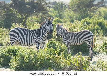 Zebra Mother And Foal Head To Head