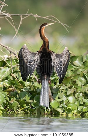 African Darter With Wings Spread Beside Lake