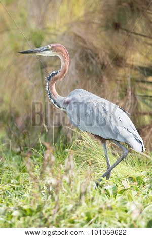 Goliath Heron With Bent Neck In Undergrowth