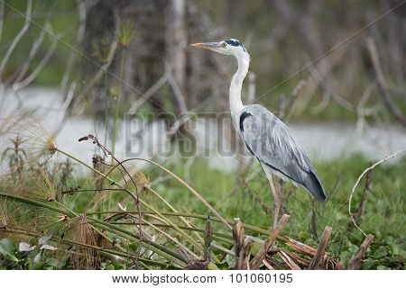 Black-headed Heron Perched On Branches Beside Water