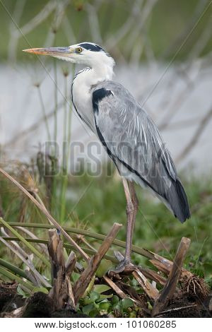 Black-headed Heron Perched On Branches Beside Lake